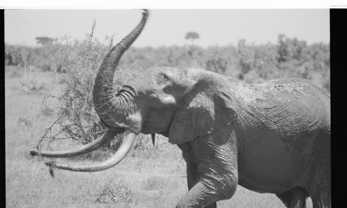 An elephant in Tsavo, Kenya in 2011. (Cyril Christo and Marie Wilkinson)