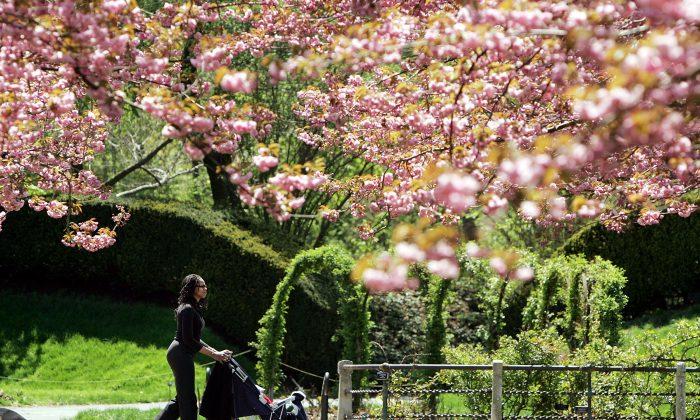 NEW YORK - APRIL 27: A visitor walks beneath cherry trees during a press preview for Brooklyn Botanic Garden's Annual Sakura Matsuri Cherry Blossom Festival April 27, 2004 in New York City.  (Mario Tama/Getty Images)