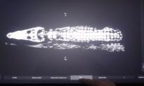 Dozens of Babies Found Inside 2,500-year-old Crocodile Mummy (Video)