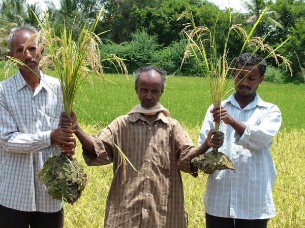 A comparison of SRI rice with conventional rice, in Karnataka, India. (Courtesy SRI-Rice)