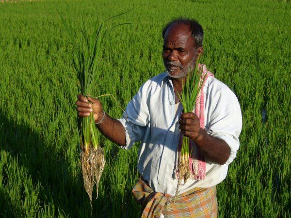 A farmer displays his SRI rice in Karnataka, India. (Courtesy SRI-Rice)