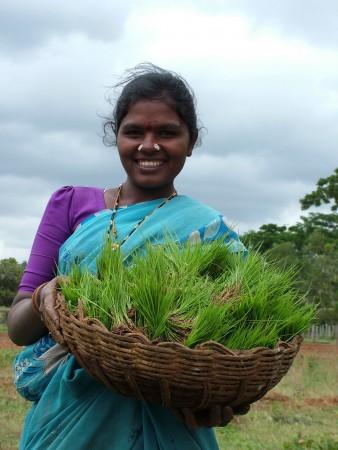 A farmer displays his SRI rice seedings in Karnataka, India. (Courtesy SRI-Rice)