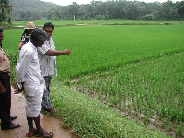 A farmer learns about SRI in Sri Lanka by observing a neighboring field. (Courtesy SRI-Rice)
