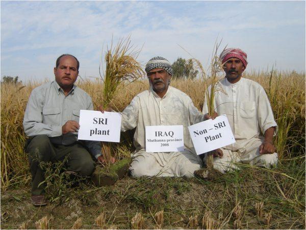 An Iraqi farmer displays a comparison between SRI and non-SRI rice plants, in 2010. (Khidir A. Hammed)
