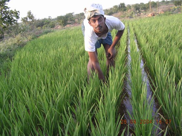 An SRI rice farmer weeding his field in Karnataka, India, in 2004. (Courtesy SRI Rice)