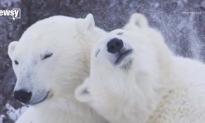 Polar Bear Population Faces Sharp Decline as Sea Ice Melts (Video)