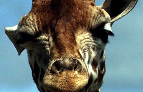 A Prayer for the Great Sentinel of the Plains—The Giraffe