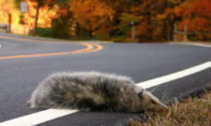Animals Have to Cross More Roads Than Ever (Video)