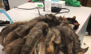 Neglected Cat Gets a New Lease on Life After Being Rid of Pounds of Tangled Fur (Video)