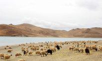 Li Deyu's Life Ended After Receiving The 10,000th Lamb
