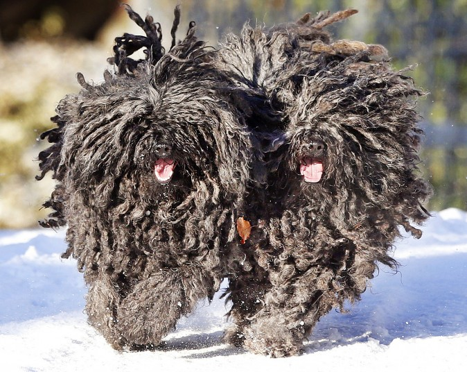 Two Puli dogs Quastie and Gin-Gin run in the snow in their garden in Lautertal, Germany, on Jan. 5, 2017. (AP Photo/Michael Probst)