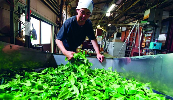 Freshly picked leaves are ready to be steamed. (David Munns)