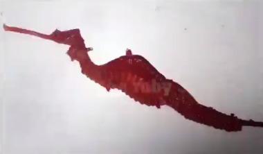 Elusive Ruby Seadragon Captured on Camera in The Wild (Video)