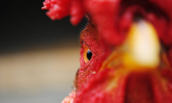 Attracting Good Fortune in the Year of the Fire Rooster