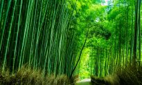 Zhang Pan Upholds His Honor as Upright as Bamboo