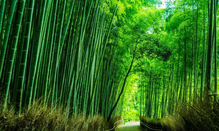 Bamboo Grove. (Fotolia)