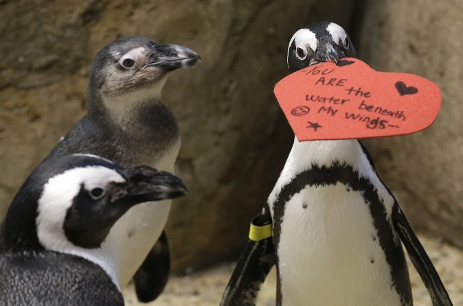 An African penguin bites into a heart shaped valentine at the California Academy of Sciences in San Francisco on Feb. 13, 2017. The valentines will be used as nesting material. (AP Photo/Jeff Chiu)