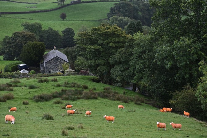 Sheep, painted orange, that belong to farmer Pip Simpson, graze on a hillside in Troutbeck in the Lake District, northern England on Sept. 29, 2016. The flock have been painted a flourescent orange colour to prevent rustling. ( OLI SCARFF/AFP/Getty Images)