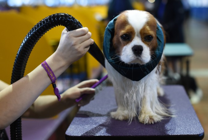 A Cavalier King Charles Spaniel is groomed in the benching area during day one of competition at the Westminster Kennel Club 141st Annual Dog Show in New York on Feb. 13. (TIMOTHY A. CLARY/AFP/Getty Images)