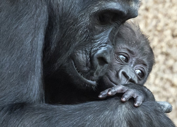 Baby gorilla relaxes on her mother Kibara at the zoo in Leipzig, Germany, on Feb. 16. The female baby gorilla was born on Dec. 4, 2016 and was named Kianga on Thursday. (AP Photo/Jens Meyer)