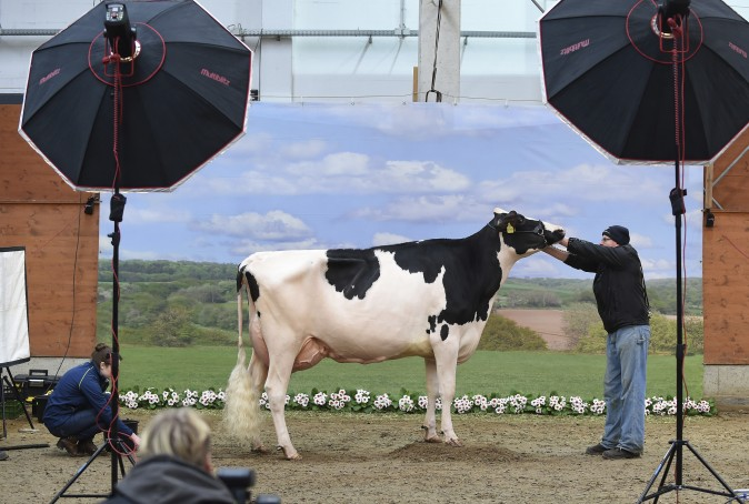 A cow gets photographed for the 44th 'Show of the Best' where the most beautiful milk cows from Lower Saxony and Saxony will be selected in Verden, Germany, on Feb. 23, 2017. (Carmen Jaspersen/dpa via AP)