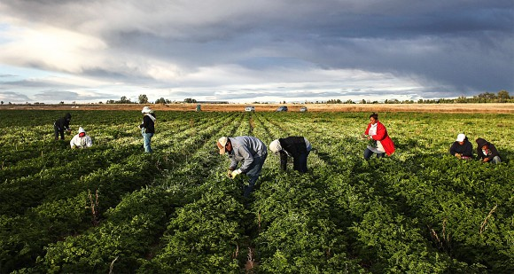 Mexican farm workers in Colorado in 2011. Even though low-skilled migrants make little money in the United States, welfare programs and free schooling can make it easier and more appealing for migrants to raise families here than in their home countries.