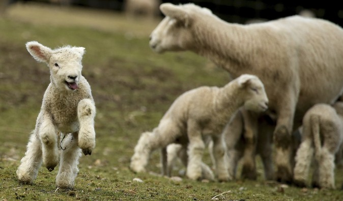 A lamb jumps around while frolicking in a pasture at Scandia Creek Farm in Poulsbo, Wash., on March 8, 2017. Vehicle traffic on Scandia Road often comes to a complete stop to watch the antics of the lambs. (Meegan M. Reid/Kitsap Sun via AP)