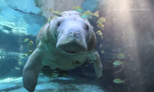 Florida's Manatees Aren't Endangered Anymore (Video)