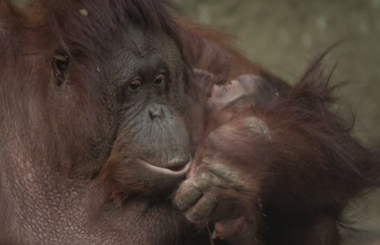 This Critically Endangered Newborn Orangutan Will Melt Your Heart (Video)