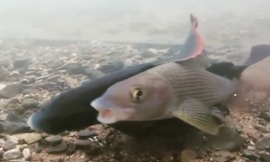 Odd Moment of Fish Procreation Caught on Video