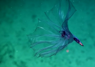 Stunning Deepwater Creature Looks Like Flower Floating in Water (Video)