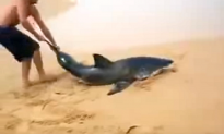 Man Saves Great White Shark Stranded on the Beach