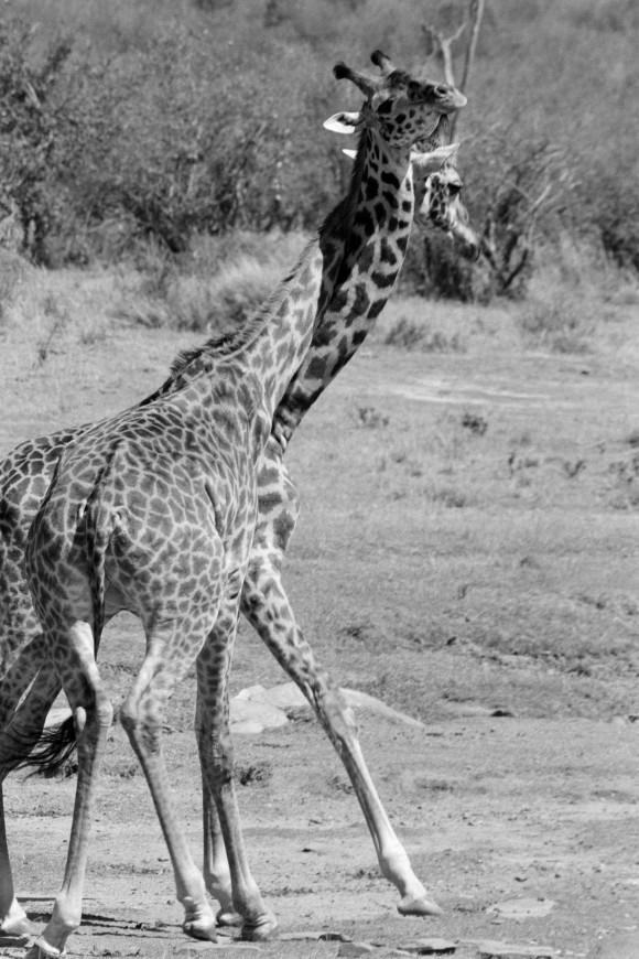 Amboseli, Kenya 2007. (Cyril Christo and Marie Wilkinson)