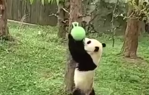 Watch Giant Panda Joyfully Wrestle a Ball (Video)