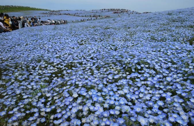 People walk on a hill covered with an estimated 4.5 million nemophila flowers in full bloom at Hitachi Seaside Park in Hitachinaka, Japan, on May 3, 2017. (KAZUHIRO NOGI/AFP/Getty Images)