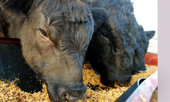 US Beef Exports to China Will Resume If the US Will Import China's Chickens