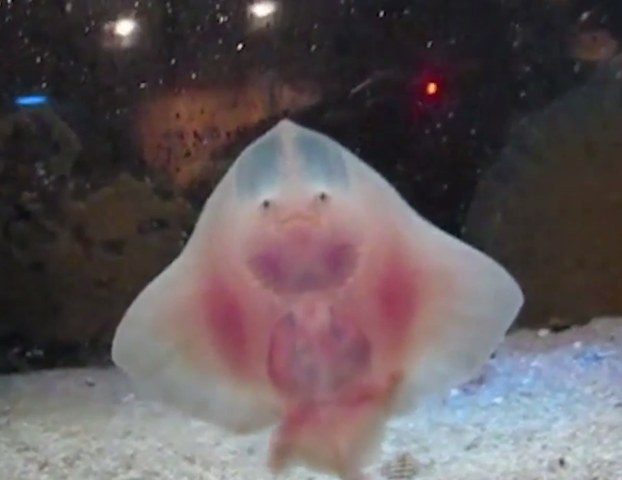 These Are the Happiest Rays You've Ever Seen (Video)