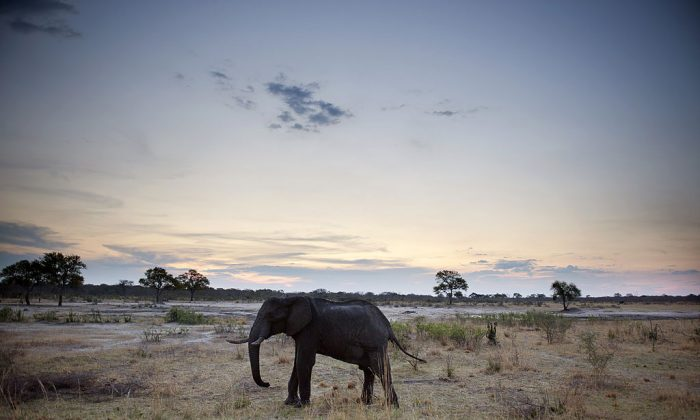 An African elephant is pictured in Hwange National Park in Zimbabwe on Nov.19, 2012. (MARTIN BUREAU/AFP/Getty Images)
