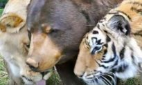 Lion, tiger, and bear became the best of friends at Georgia sanctuary