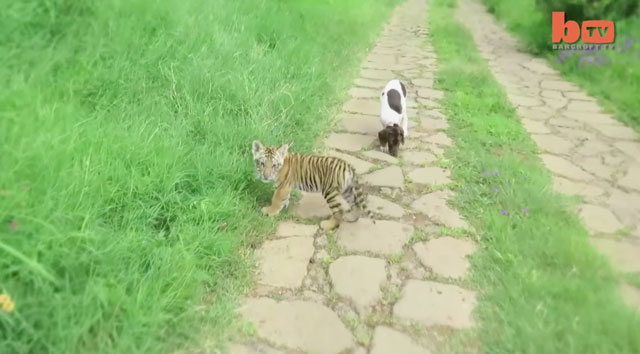 Tiger And Puppy Become Friends
