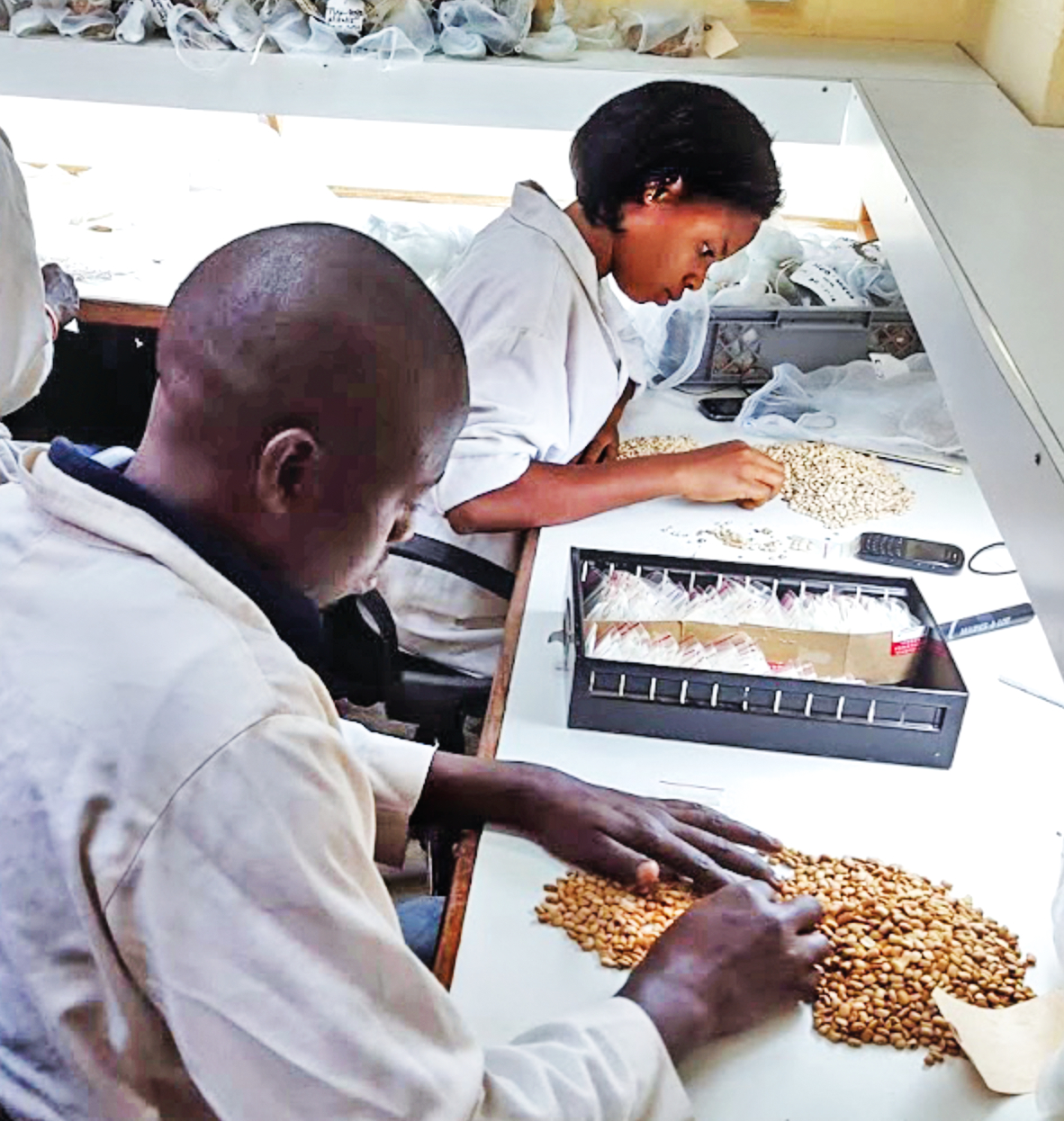 Sorting seeds in a Nigerian seed bank. Similar banks exist in many countries around the world. (PHOTO COURTESY OF GLOBAL CROP DIVERSITY TRUST)