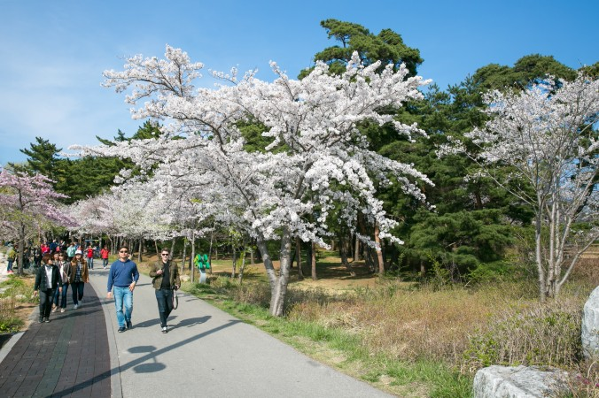 The Gyeongpo Cherry Blossom Festival in Gangneung. (Benjamin Chasteen/The Epoch Times)