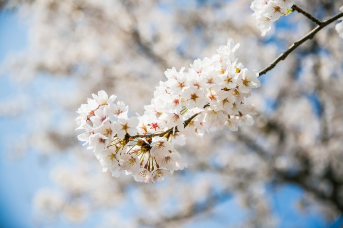 A cherry blossom tree during the Gyeongpo Cherry Blossom Festival in Gangneung.  (Benjamin Chasteen/The Epoch Times)