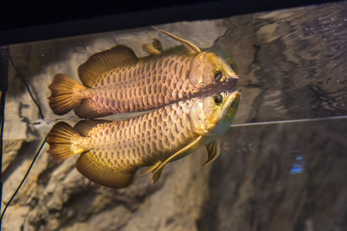 A rare highback golden arowana fish which can sell up to $300,000 becasue the belief that the fish will bring in prosperity and wealth to the owner.  (Benjamin Chasteen/The Epoch Times)