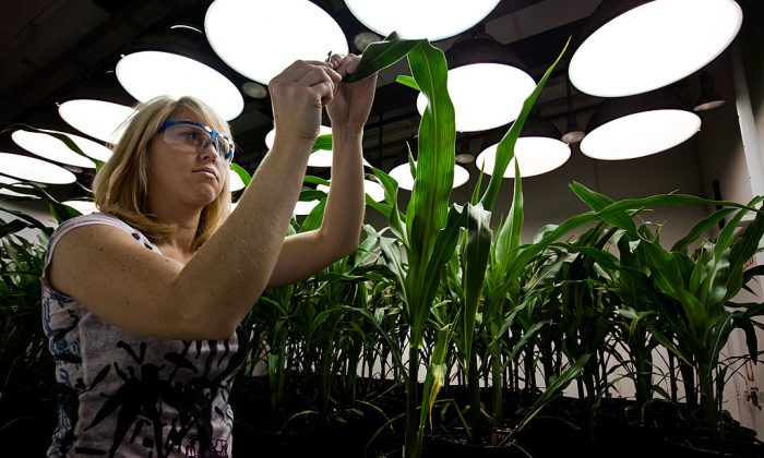 Research Biologist Heidi Windler takes tissue samples from genetically modified corn plants inside a climate chamber housed in Monsanto agribusiness headquarters in St Louis, Missouri on 21 May 2009. (Brent Stirton/Getty Images.)