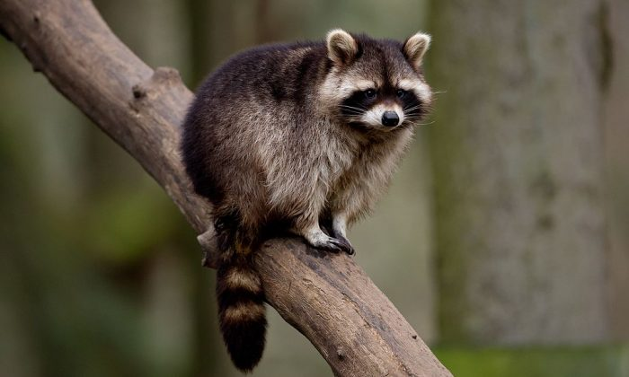 A raccoon is seen in its enclosure at the Schwarze Berge wildlife park in Hamburg, northern Germany (SVEN HOPPE/AFP/Getty Images)