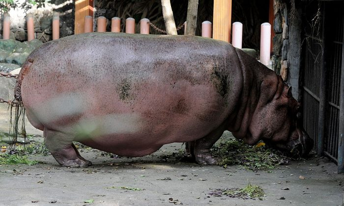 A hippopotamus stands in an enclosure in Manila Zoo. (JAY DIRECTO/AFP/Getty Images)