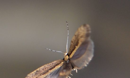 USDA Approves Release of GM Moths in New York