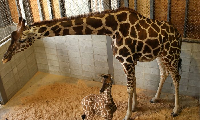 An eleven day old newborn giraffe calf stands beside his mother named Mimi in their enclosure at Himeji Central Park on October 16, 2013 in Himeji, Japan. (Buddhika Weerasinghe/Getty Images)
