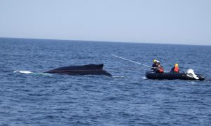 NOAA Lifts Temporary Suspension Just in Time to Rescue Whale Off Californian Coast